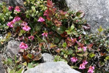 高山植物・花