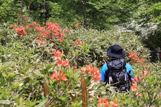 レンゲツツジの花の中を歩きます