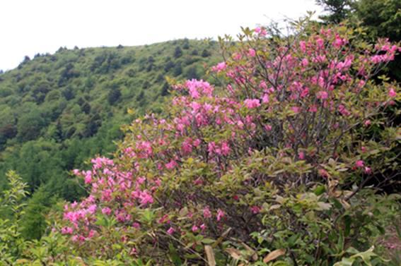 烏帽子山のムラサキヤシオ